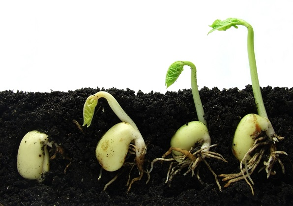 Image: Seeds in the soil, with shoots and roots showing