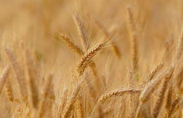 Wheat corn maize