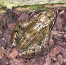 061 - Frog 07