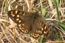 092 Speckled Wood butterfly2 in holly Tree way back garden