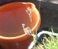 10-07-08 - Female Sparrow drinking