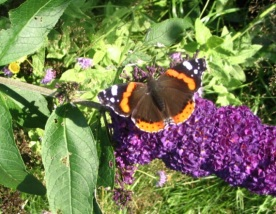 4-09-08 - Red Admiral 1