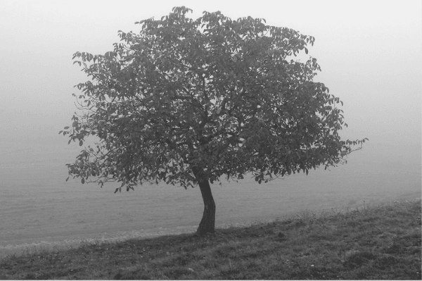 Featured Images - A tree in a misty field.