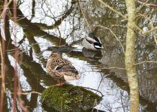 Image-ducks