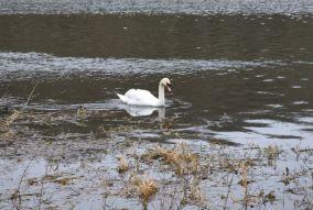 Image-Swan