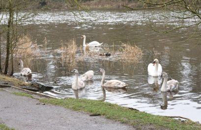 Image-swans