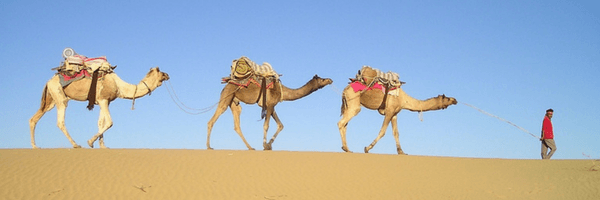 Image: 3 camels walking in convoy in desert, led by man