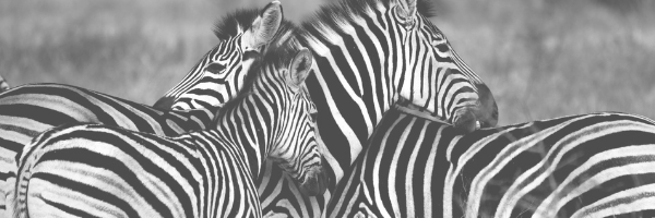 three zebras. Safari. Pixabay image