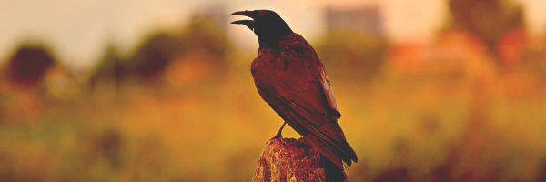 Foreshadowing using symbols, such as the raven as the omen for an upcoming death. Image of a raven from Pixabay