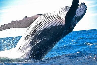 humpback whale, marine life, sea creature by Pixabay
