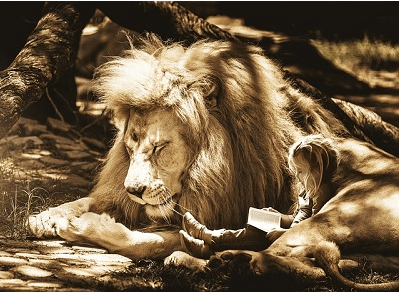 Lion sleeping with a girl sat with him, reading a book