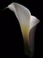 In sorrow, cala lily, remembrance