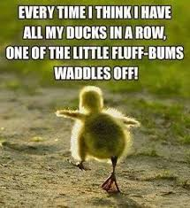 "Meme of a little duckling waddling off and the words ""Every time I think I have all my ducks in a row one of the little fluff-bums waddles off!"""
