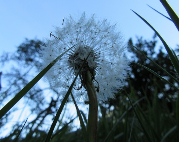 Clock dandelion. Photo by Ari Meghlen 2020