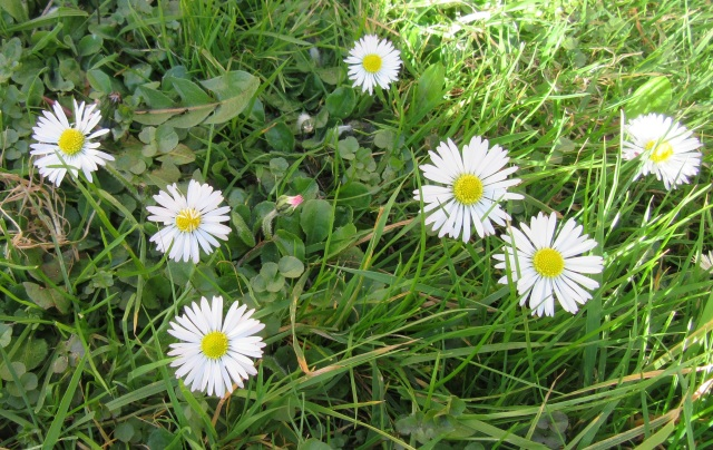 Several daisies, white petals with yellow centres. Photo by Ari Meghlen 2020