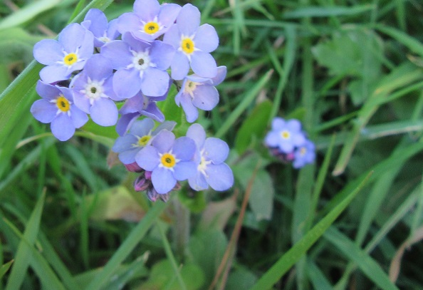 Tiny blue Forget-Me-Knots Wildflowers. Photo by Ari Meghlen 2020