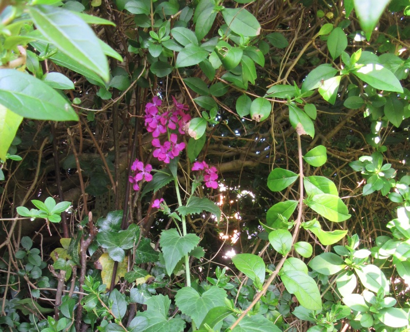 Dark pink flowers under the hedge. Photo by Ari Meghlen 2020
