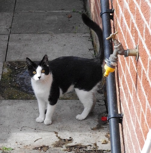 Small black and white cat who visited me from 2010